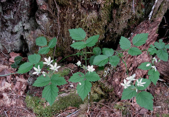 Pacific Blackberry patch.  By J Brew - Rubus ursinus - Newhalem River Trail, https://www.flickr.com/photos/brewbooks/, https://creativecommons.org/licenses/by-sa/2.0/