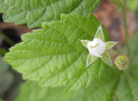 Blackcap Raspberry leaf