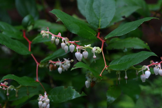 Salal Berry Bush.  By Malcolm Manners - Salal, https://www.flickr.com/photos/mmmavocado/, https://creativecommons.org/licenses/by-sa/2.0/