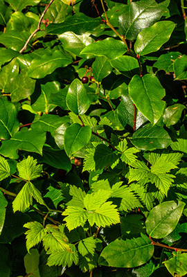 Salal Berry leaves.  By Murray Foubister - https://www.flickr.com/photos/mfoubister/21560054525/, CC BY-SA 2.0, https://commons.wikimedia.org/w/index.php?curid=51926062