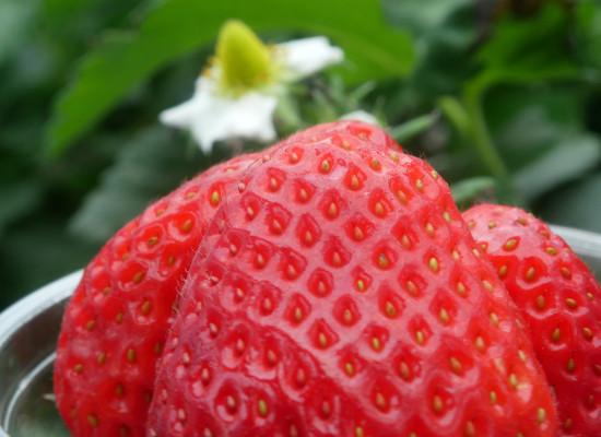 Coastal Strawberry Main Product Image