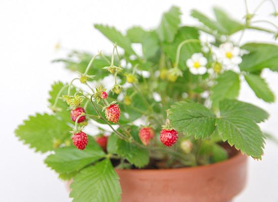 Woodland Strawberry Main Product Image