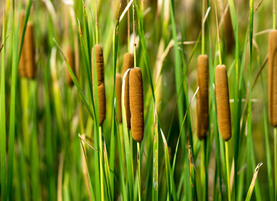 Cattail Main Product Image