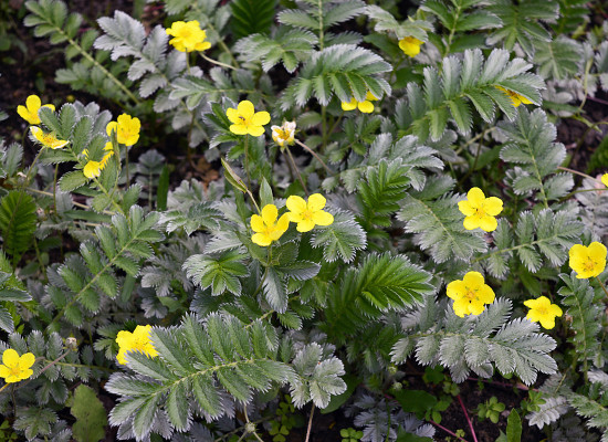Pacific Silverweed Main Product Image