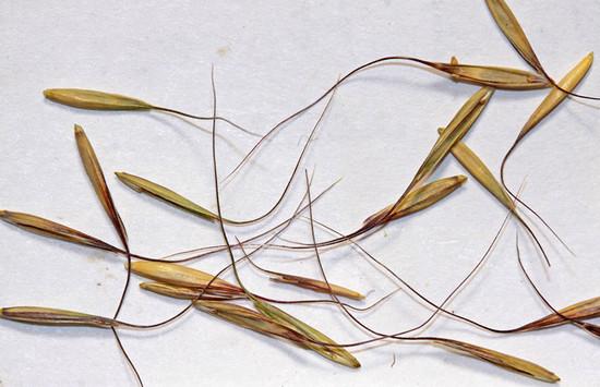Wild Rye edible.  By Andrey Zharkikh, https://www.flickr.com/photos/zharkikh/, https://creativecommons.org/licenses/by/2.0/