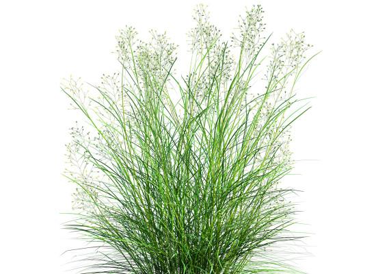 Indian Ricegrass Main Product Image