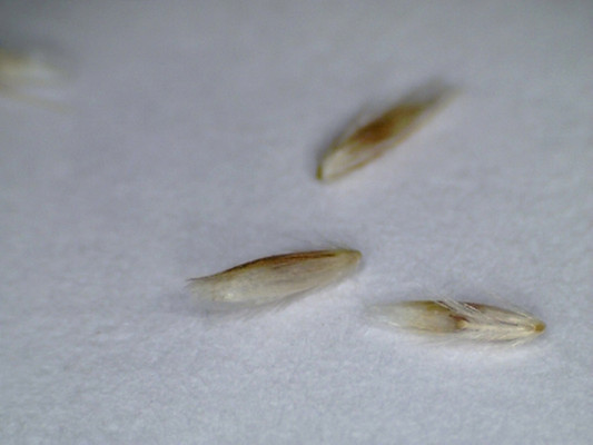 Slender Hairgrass seeds.  By Blokenearexeter - Own work, Public Domain, https://commons.wikimedia.org/w/index.php?curid=11960084