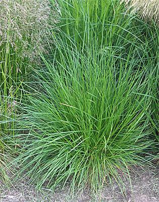 Slender Hairgrass bush.  By Rasbak - Own work, CC BY-SA 3.0, https://commons.wikimedia.org/w/index.php?curid=182601