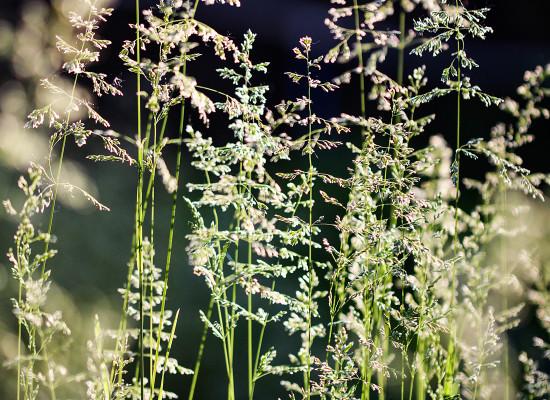 Slender Hairgrass Main Product Image