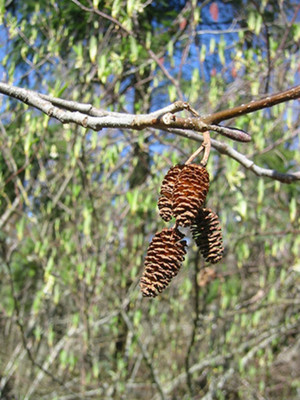 Red Alder pine cones.  By Walter Siegmund - Own work, CC BY 2.5, https://commons.wikimedia.org/w/index.php?curid=655032