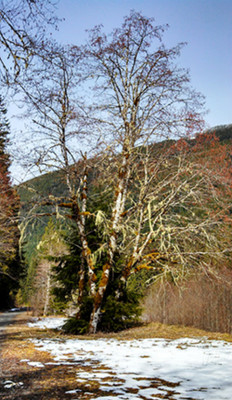 Red Alder tree.  By Walter Siegmund - Own work, CC BY 2.5, https://commons.wikimedia.org/w/index.php?curid=655033