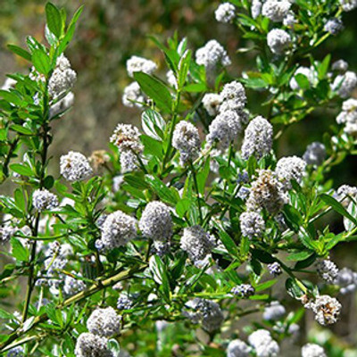 Blue Blossom Ceanothus