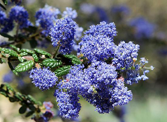 Blue Blossom Ceanothus Main Product Image