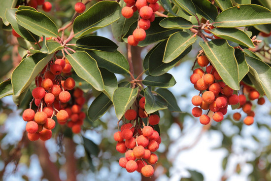 Pacific Madrone Berries. https://cdn.pixabay.com/photo/2020/01/12/14/50/arbutus-4760128_1280.jpg