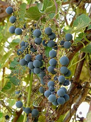 California Wild Grape berries