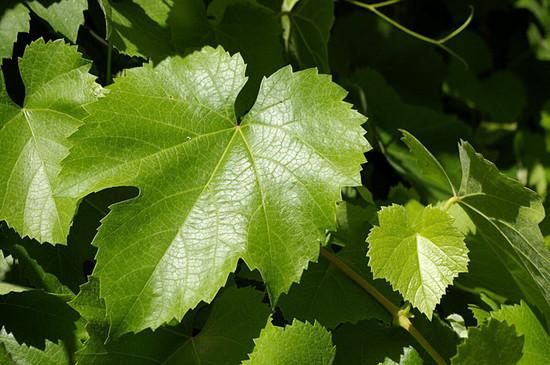 California Wild Grape leaves.  https://commons.wikimedia.org/wiki/File:Vitis_californica_at_Caswell_Memorial_State_Park_spring_leaves.jpg