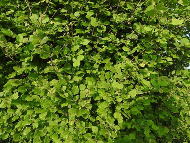 California Hazelnut bush