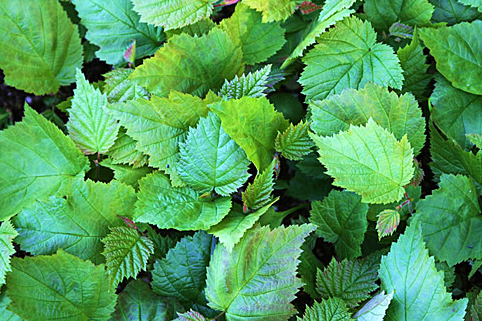 California Hazelnut leaves.  By Agrosylva - Own work, CC BY-SA 3.0, https://commons.wikimedia.org/w/index.php?curid=20070144