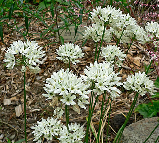 Fool's Onion flowers.  By Stan Shebs, CC BY-SA 3.0, https://commons.wikimedia.org/w/index.php?curid=1060879
