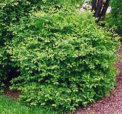 Honeyberry plant.  https://garden.org/learn/articles/view/4070/