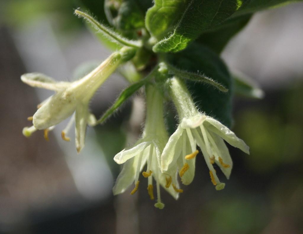Honeyberry flowers.  https://www.flickr.com/photos/fluffymuppet/7026258795 Lonicera caerulea kamtschatika