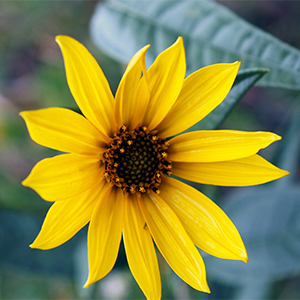Maximillian Sunflower thumbnail image