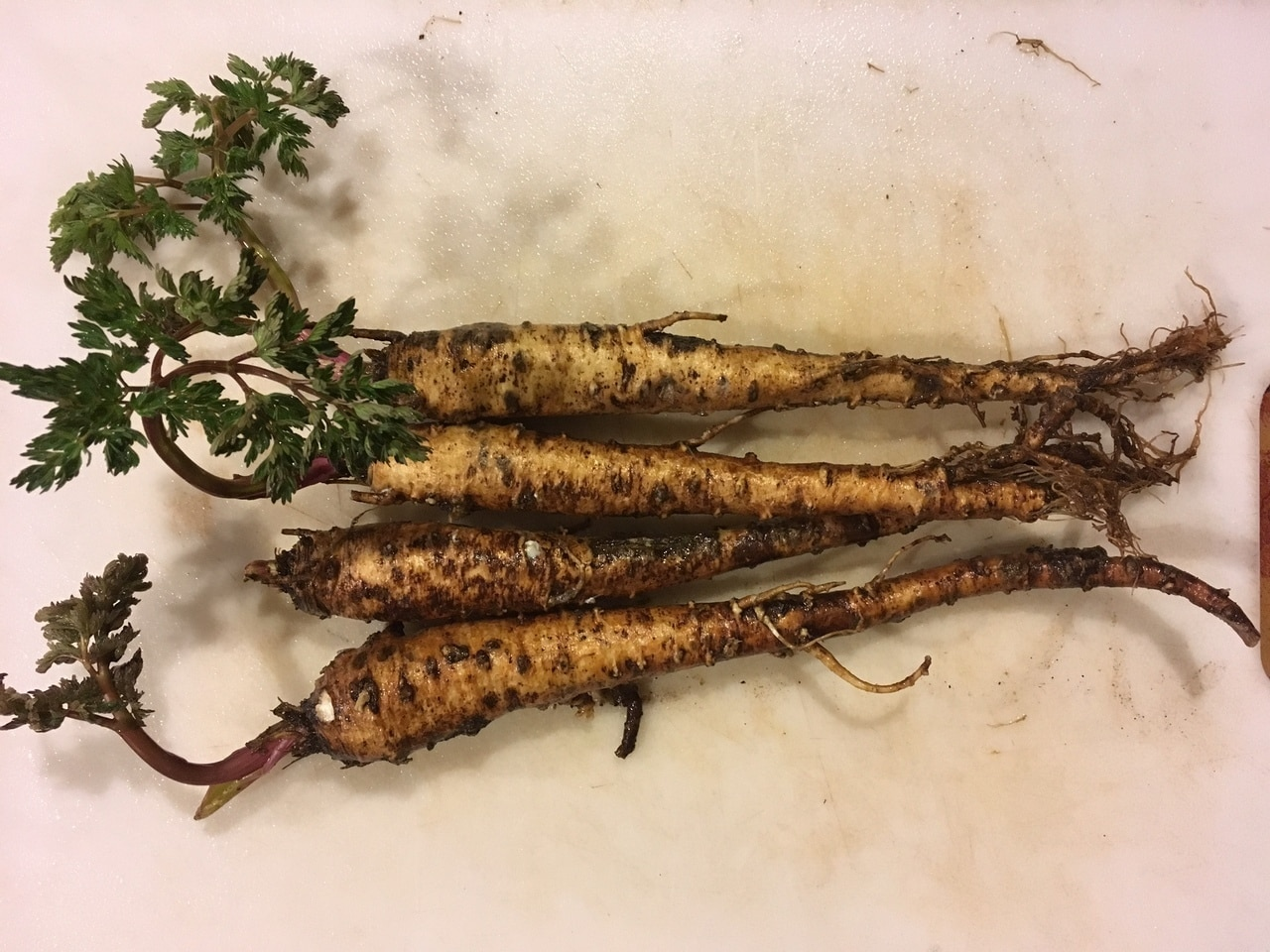 Lomatium dissectum roots ready to be chopped into medicine!