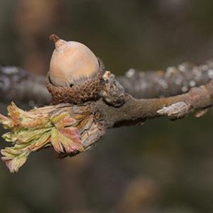 Oregon White Oak nuts