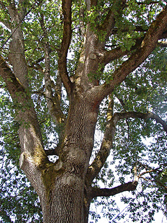 Oregon White Oak tree.  By Jami Dwyer (Jamidwyer (talk)) - Own work, Public Domain, https://commons.wikimedia.org/w/index.php?curid=6322274