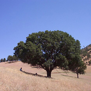 California Black Oak