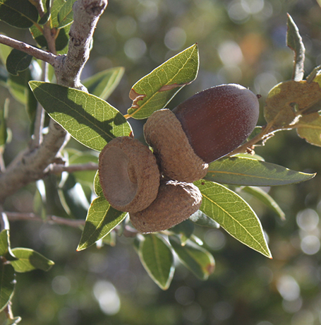 Canyon Live Oak nuts.  By Ewen Roberts from San Diego, CA, United States - Acorns, CC BY 2.0, https://commons.wikimedia.org/w/index.php?curid=9748179