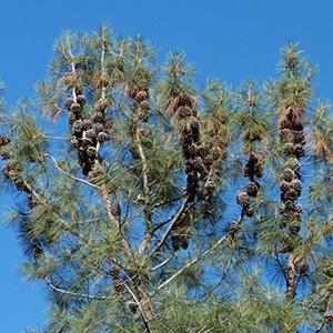 California Foothill Pine branches