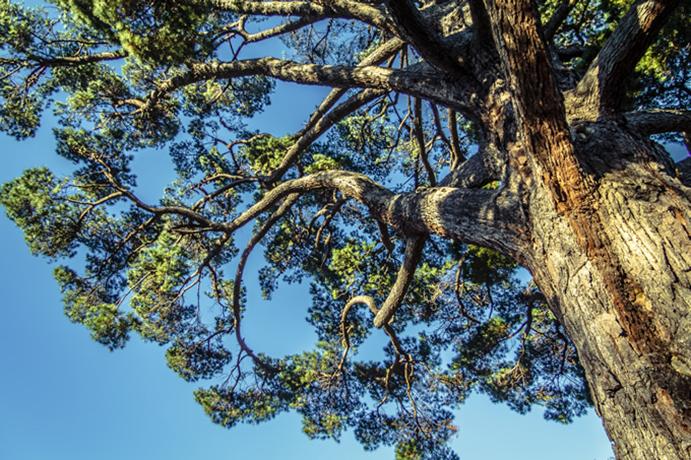 Pinyon Pine tree