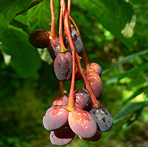 Indian Plum thumbnail image
