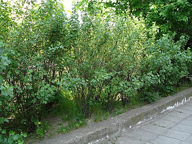 Golden Currant bushes