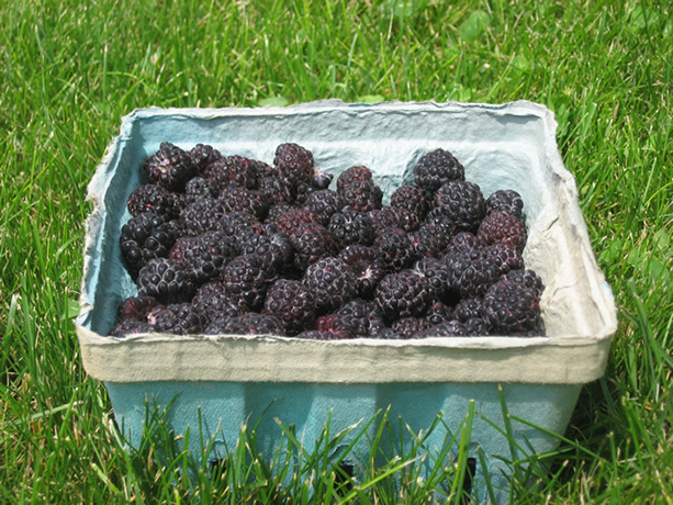 Blackcap Raspberries