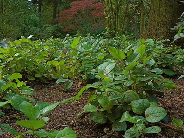 Salal Berry Patch.  By Peter Stevens - Salal berries, https://www.flickr.com/photos/nordique/, https://creativecommons.org/licenses/by-sa/2.0/