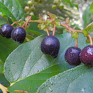 Salal Berries thumbnail image