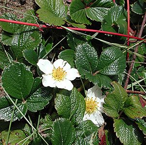 Coastal Strawberry