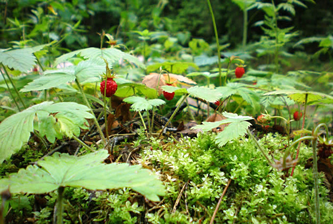 Woodland Strawberry bush.  By Hugo.arg - Own work, Public Domain, https://commons.wikimedia.org/w/index.php?curid=15721993