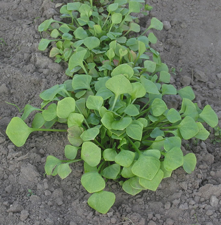 Miner's Lettuce patch.  By Rasbak - Own work, CC BY-SA 3.0, https://commons.wikimedia.org/w/index.php?curid=369768