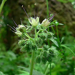 Pacific Waterleaf thumbnail image