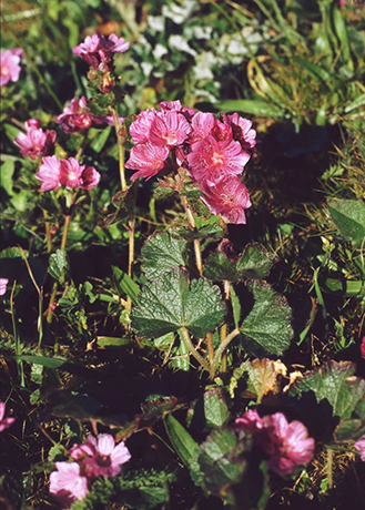 Dwarf Checkerbloom bush.  By Franz Xaver - Own work, CC BY-SA 3.0, https://commons.wikimedia.org/w/index.php?curid=17086957