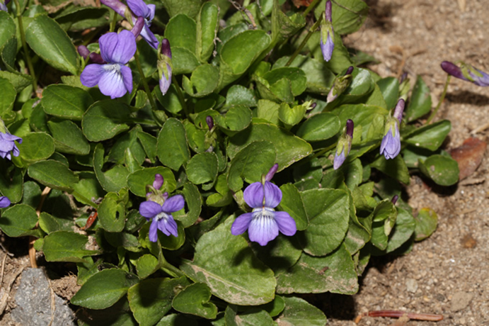 Early Blue Violet groundcover.  By Walter Siegmund (talk) - Own work, CC BY-SA 3.0, https://commons.wikimedia.org/w/index.php?curid=9802190