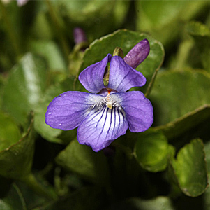 Early Blue Violet thumbnail image