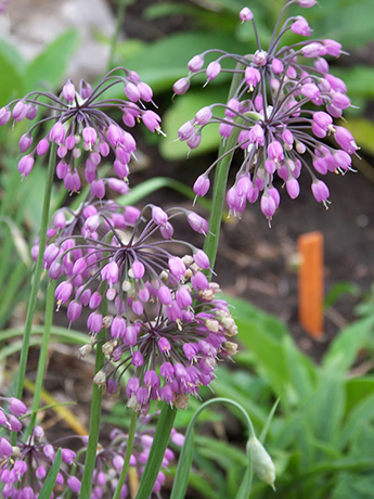 Nodding Onion flowers.  By Patrick Standish - Wild Nodding Onion, https://www.flickr.com/photos/patrickstandish/, https://creativecommons.org/licenses/by-sa/2.0/
