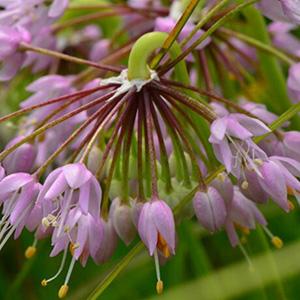 Nodding Onion thumbnail image