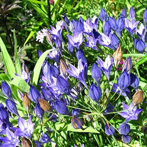 Harvest Brodiaea thumbnail image