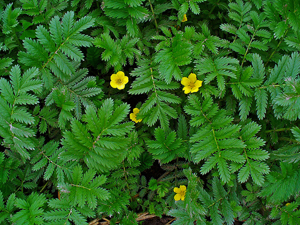 Pacific Silverweed flowers and leaves.  By H. Zell - Own work, CC BY-SA 3.0, https://commons.wikimedia.org/w/index.php?curid=10910150