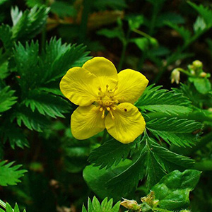 Pacific Silverweed thumbnail image